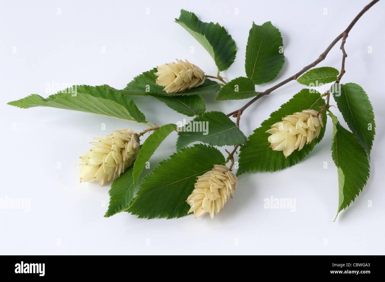 Seltene,Hop Hainbuche,Ostrya Carpinifolia,Hardy Blühender Baum,Prächtigen Fruit