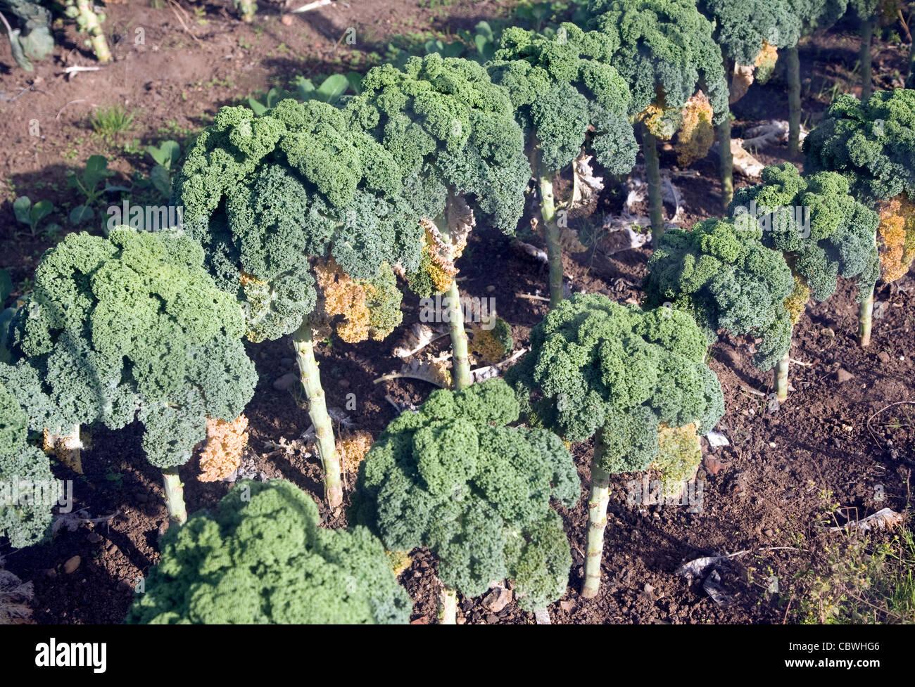 Grünkohl Brokkoli Pflanzen Gemüse Garten Stockfoto, Bild