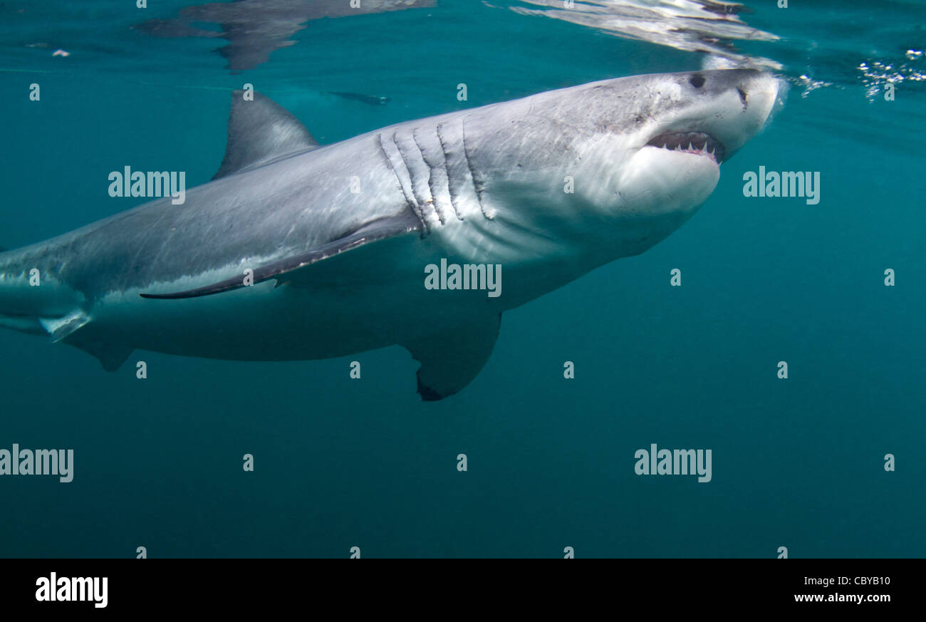 jaws shark attack stockfotos jaws shark attack bilder alamy. Black Bedroom Furniture Sets. Home Design Ideas