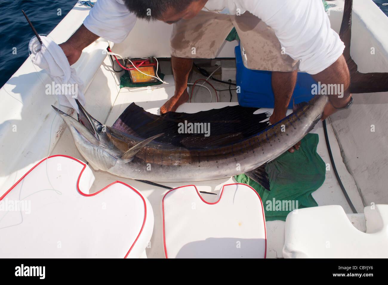 Fächerfisch, Istiophorus Platypterus, freigebend beim Big Game fischen Stockbild