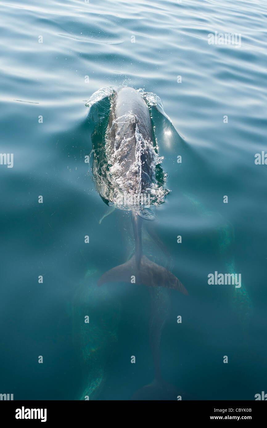 Pantropisch entdeckt Delphin, Stenella Attenuata, Mexiko Stockbild