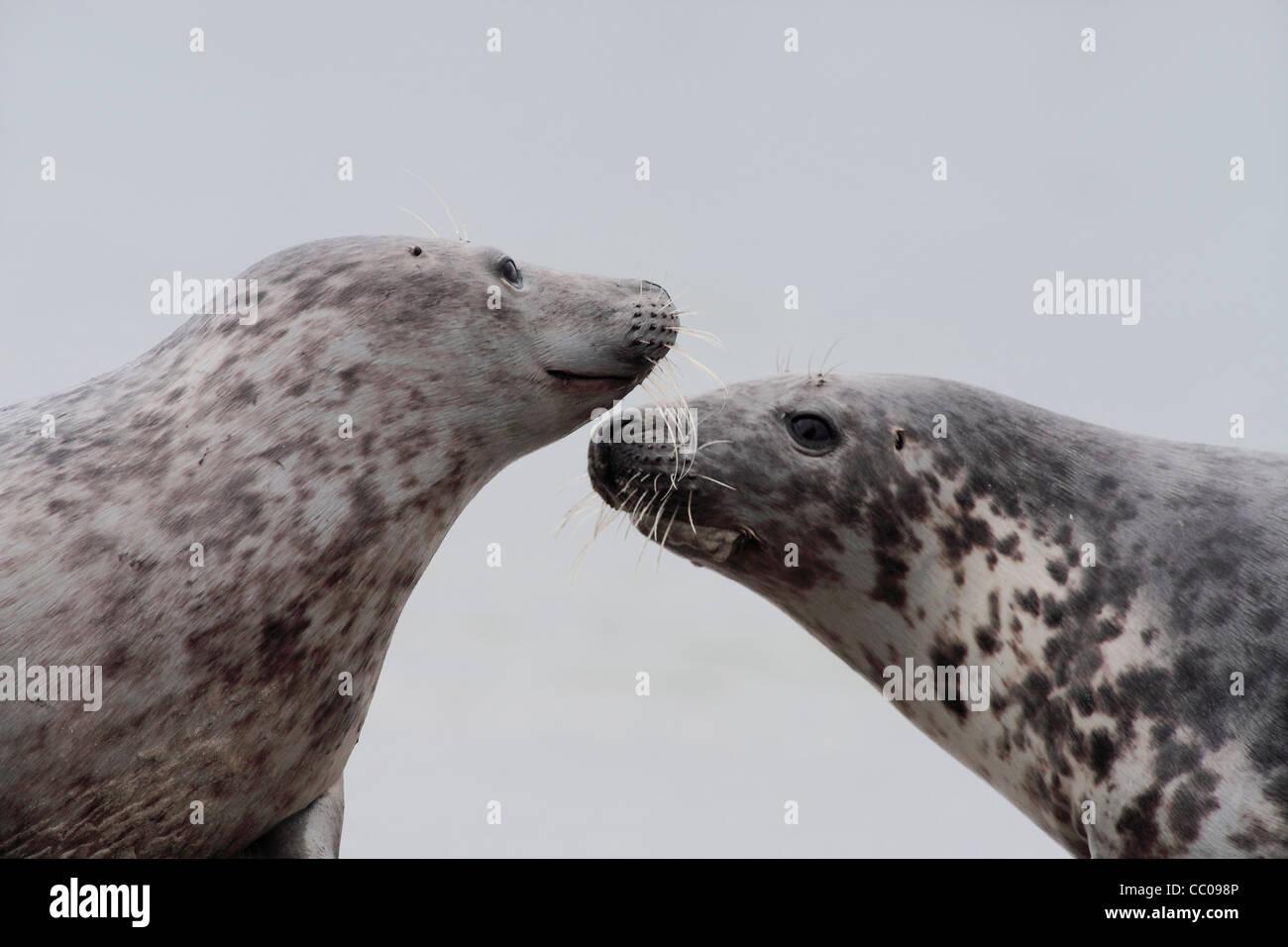Sozialverhalten zwischen Kegelrobben; Latein: Halichoerus grypus Stockbild