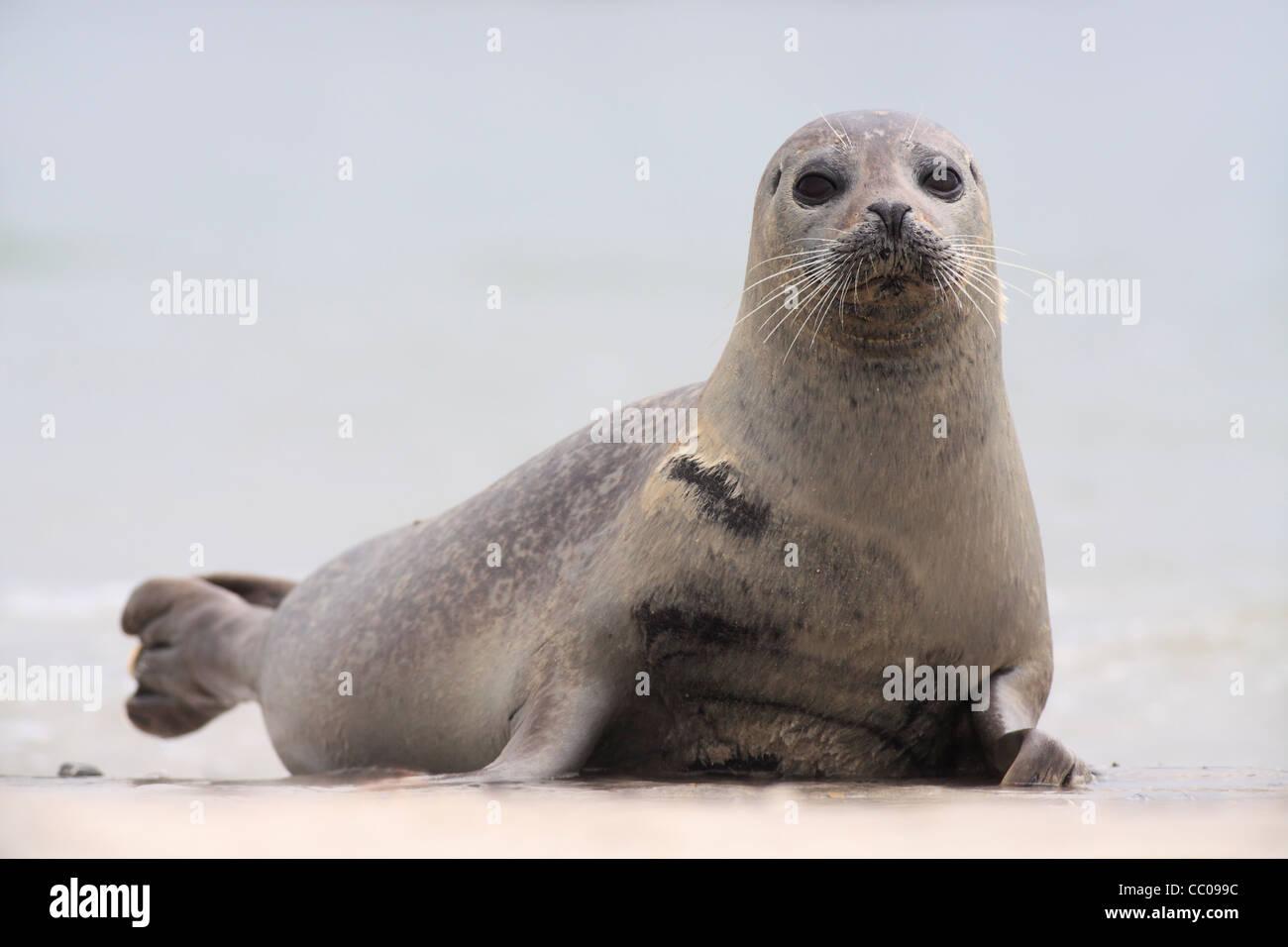 Seehunde; Latein: Phoca Vitulina; Seehund, Harbor seal Stockbild