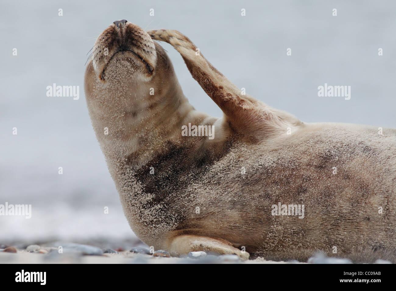 graue Dichtung Schaben das Gesicht; Latein: Halichoerus grypus Stockbild