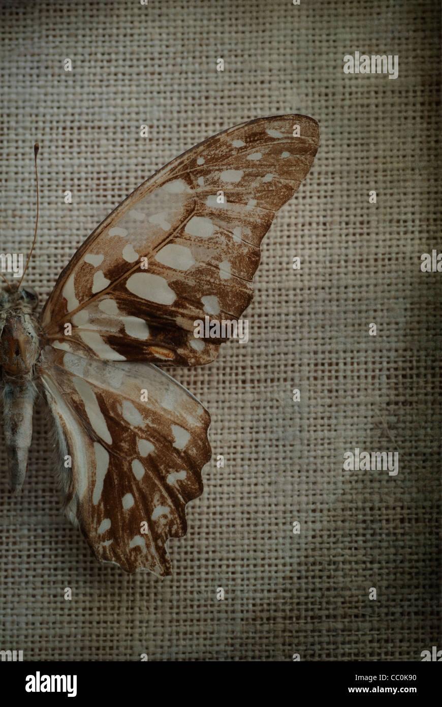 Detail eines trockenen Schmetterlingsflügels Stockbild