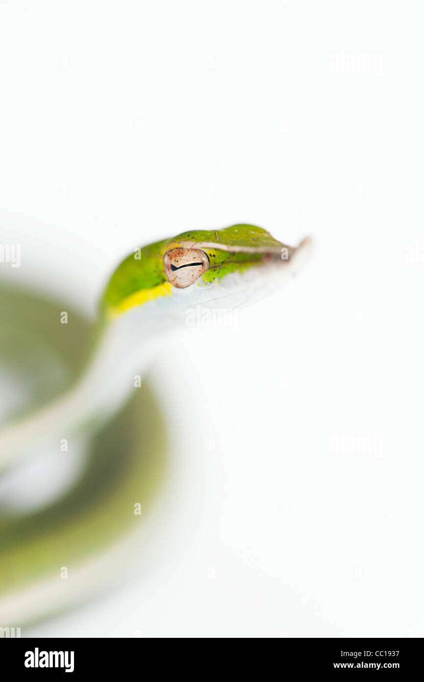 Ahaetulla Nasuta. Juvenile grüne Ranke Schlange auf weißem Hintergrund Stockfoto