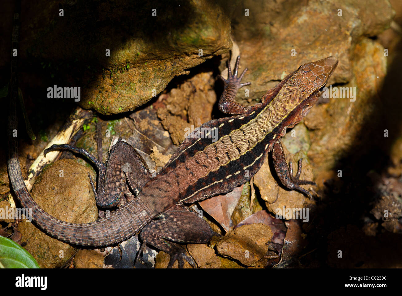Panamaischer Whiptail, Sci. Name; Ameiva Leptophrys in Altos de Campana Nationalpark, Provinz Panama, Republik von Stockbild