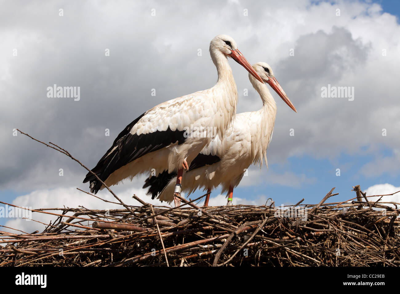 Störche paar auf ihrem Nest hoch oben am Himmel steht Stockfoto