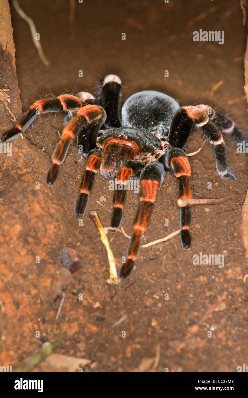 Weibliche Orange-Knie oder mexikanischen roten Knien Vogelspinne ...