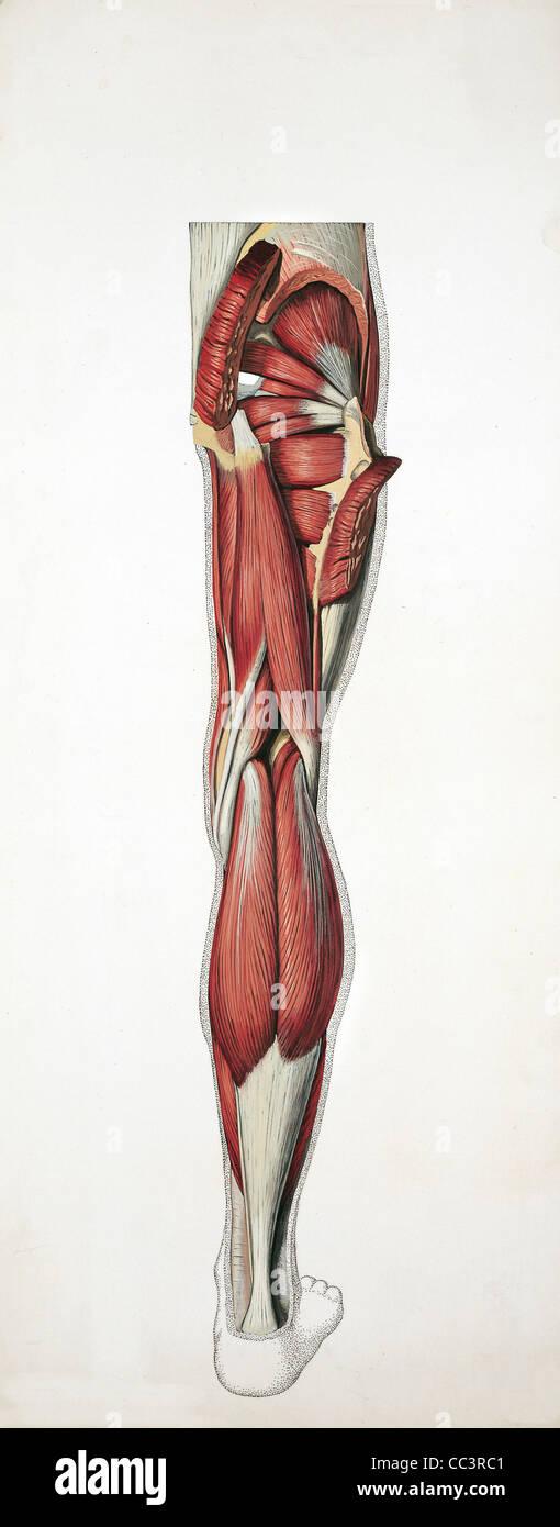Medizin - Anatomie - Muskulatur - hinteren Hüfte, Oberschenkel und ...