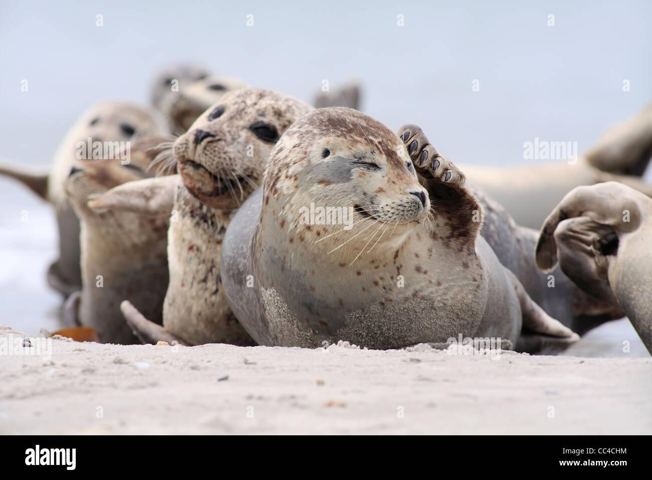 Kratzen Seehunde; Latein: Phoca Vitulina; Seehund, Harbor seal Stockbild