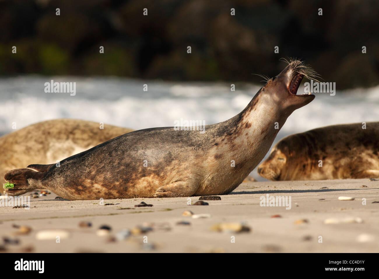 Kegelrobben; Latein: Halichoerus grypus Stockbild