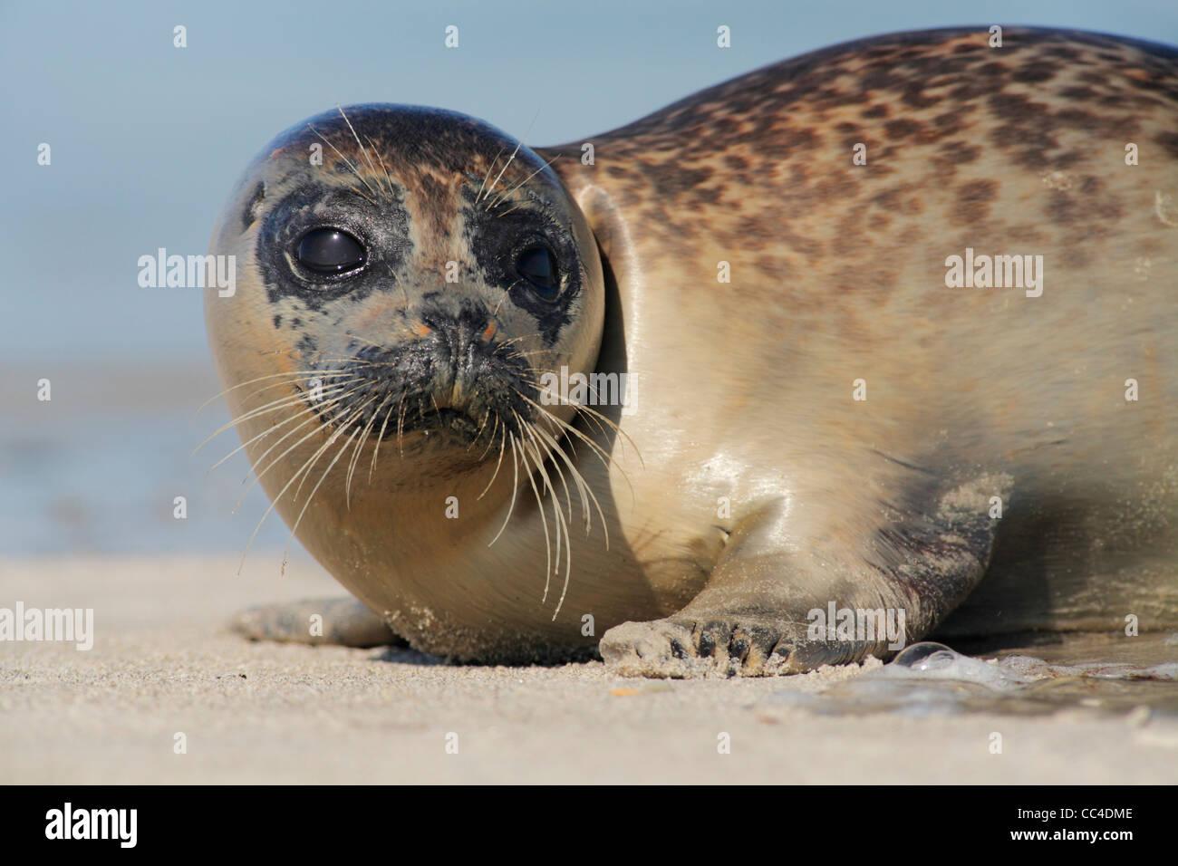 Juvenile Seehunde; Latein: Phoca Vitulina; Seehund, Harbor seal Stockbild