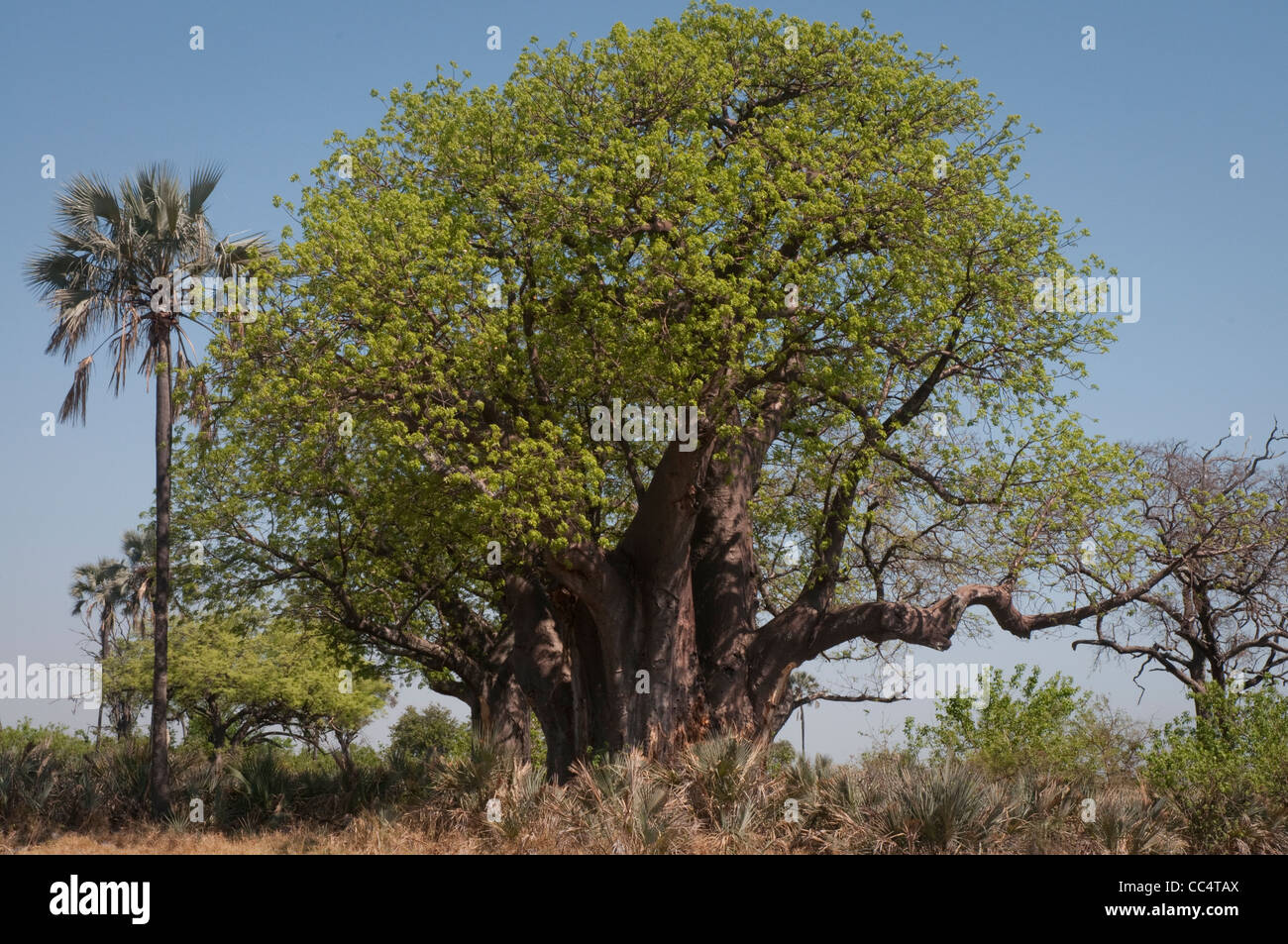 afrika botswana tuba baum baobab baum baobab affenbrotb ume stockfoto bild 41903538 alamy. Black Bedroom Furniture Sets. Home Design Ideas