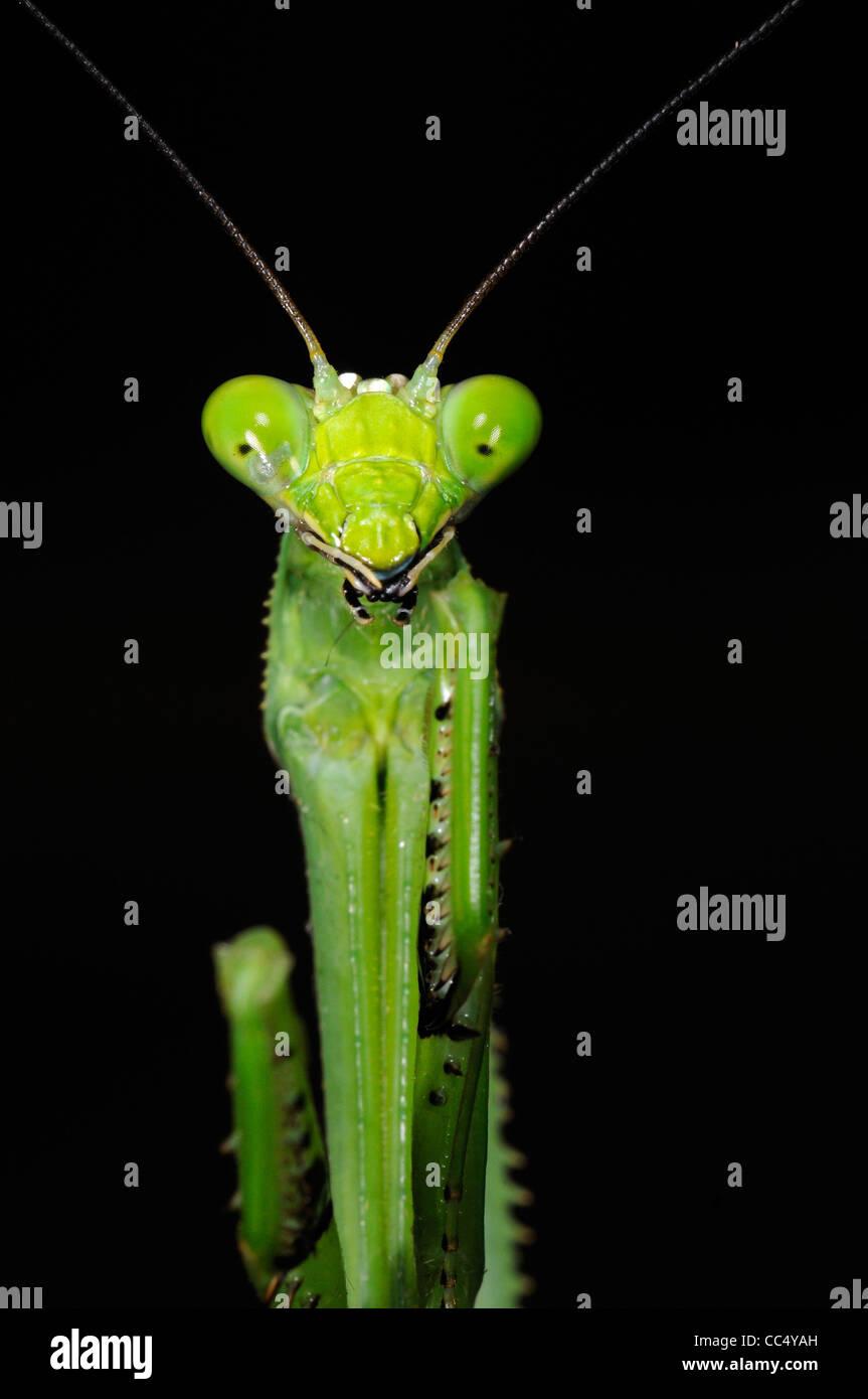 Gottesanbeterin (Stagmatoptera Binotata) Nahaufnahme des Kopfes, Iwokrama Rainforest, Guyana Stockbild