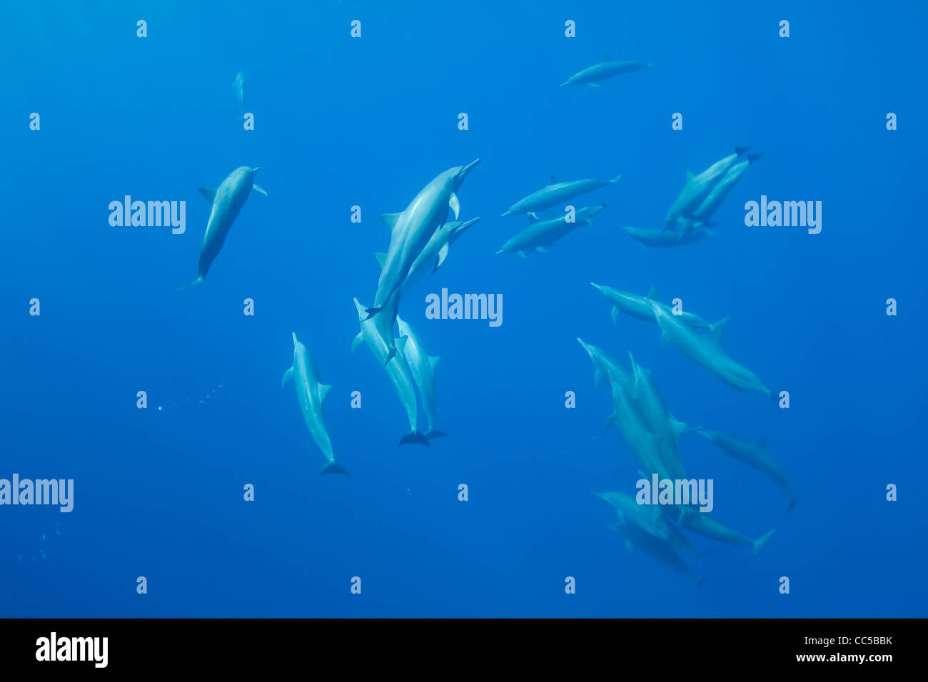 Östlichen Spinner-Delfine, Stenella Longirostris Orientalis, von Baja California, Mexiko (Ostpazifik) Stockbild