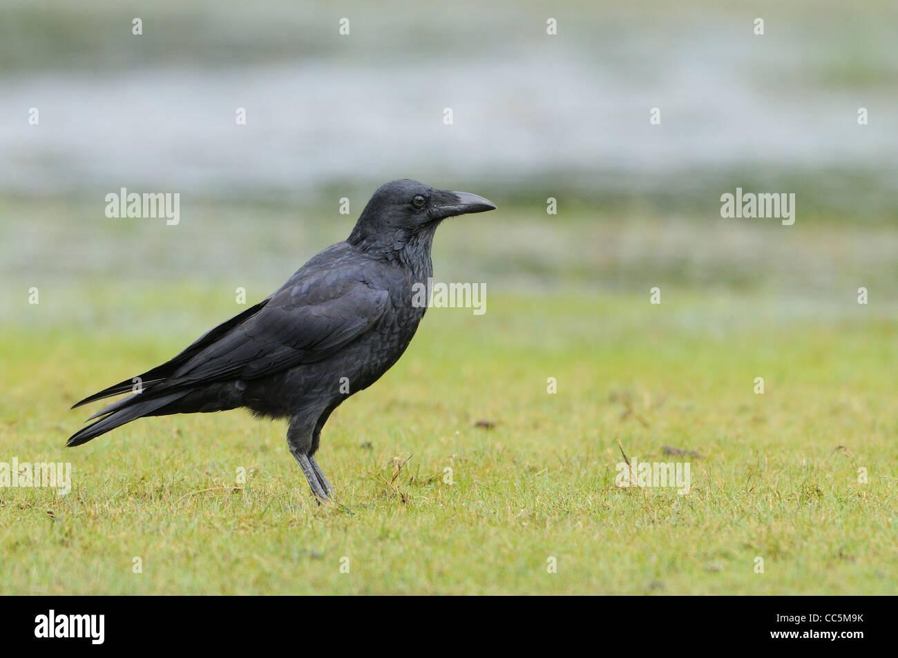 Wald-Raven-Corvus Tasmanicus fotografiert in Tasmanien, Australien Stockbild