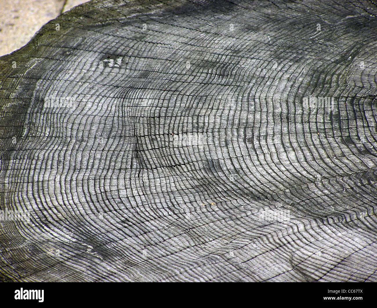 Die Jahresringe eines unbekannten Baumarten im Bristol Zoo, Bristol, England. Stockbild