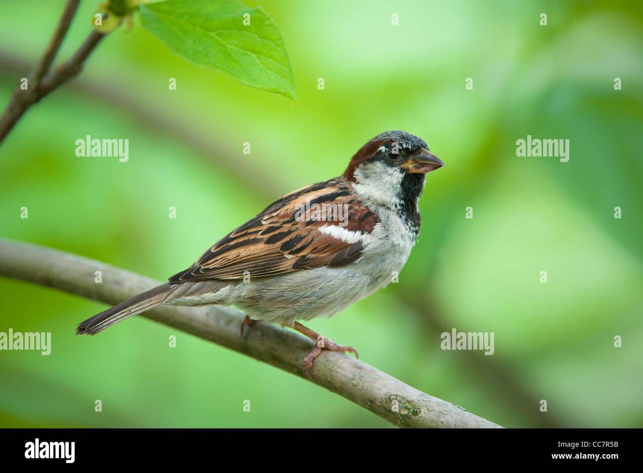 Eurasische Tree Sparrow (lat. Passer Montanus) Stockfoto