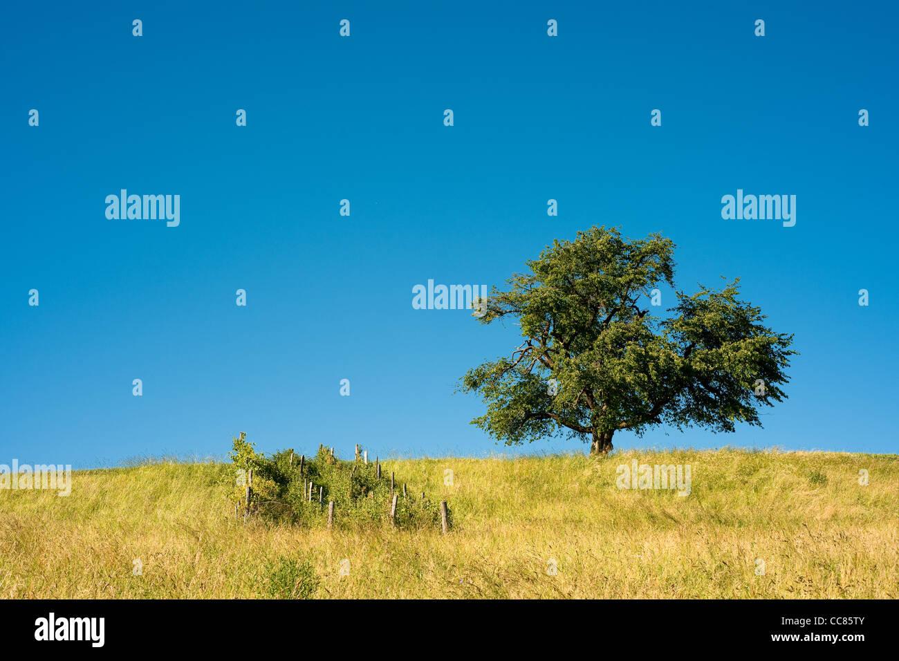 einzelner Baum auf den ländlichen Bereich mit blauem Himmel Stockbild