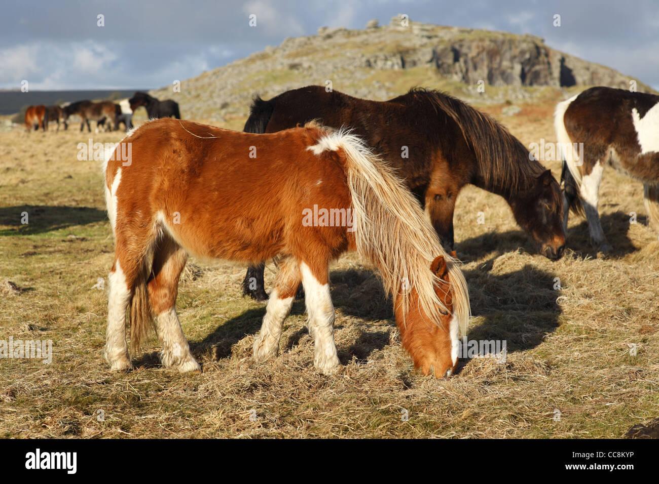 Ponys auf Bodmin Moor in der Nähe der Cheeswring-Steinbruch in Cornwall, Großbritannien. Stockfoto