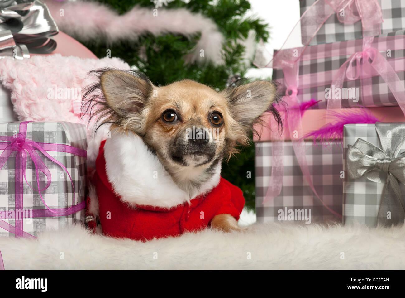 Chihuahua Welpen, 4 Monate alt, liegend mit Weihnachtsgeschenke ...