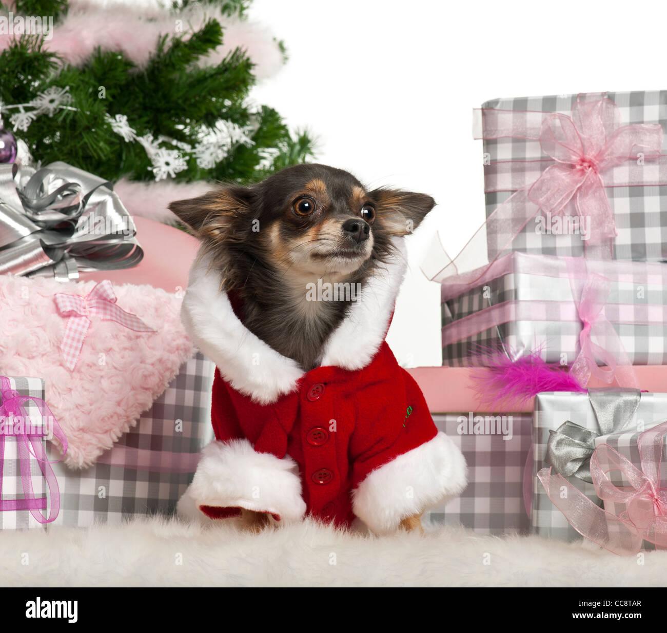Chihuahua, 1 Jahr alt, in Santa Outfit mit Weihnachtsgeschenken vor ...