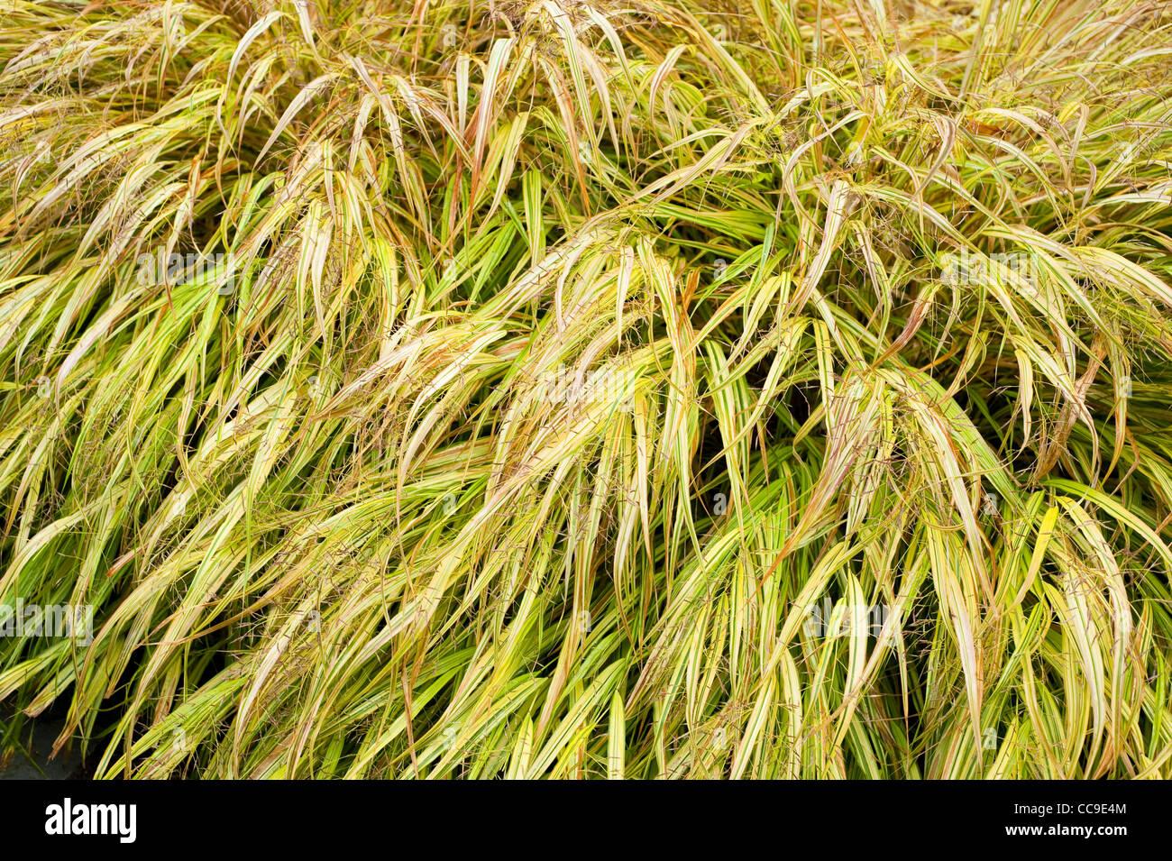 Hakonechloa Macra 'Aureola' AGM, goldene Hakonechloa im Herbst Stockbild