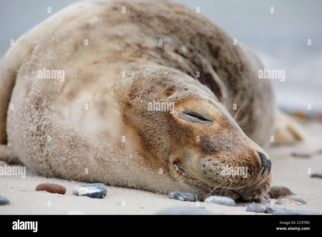 Porträt einer jungen schlafenden grau versiegeln; Latein: Halichoerus grypus Stockbild