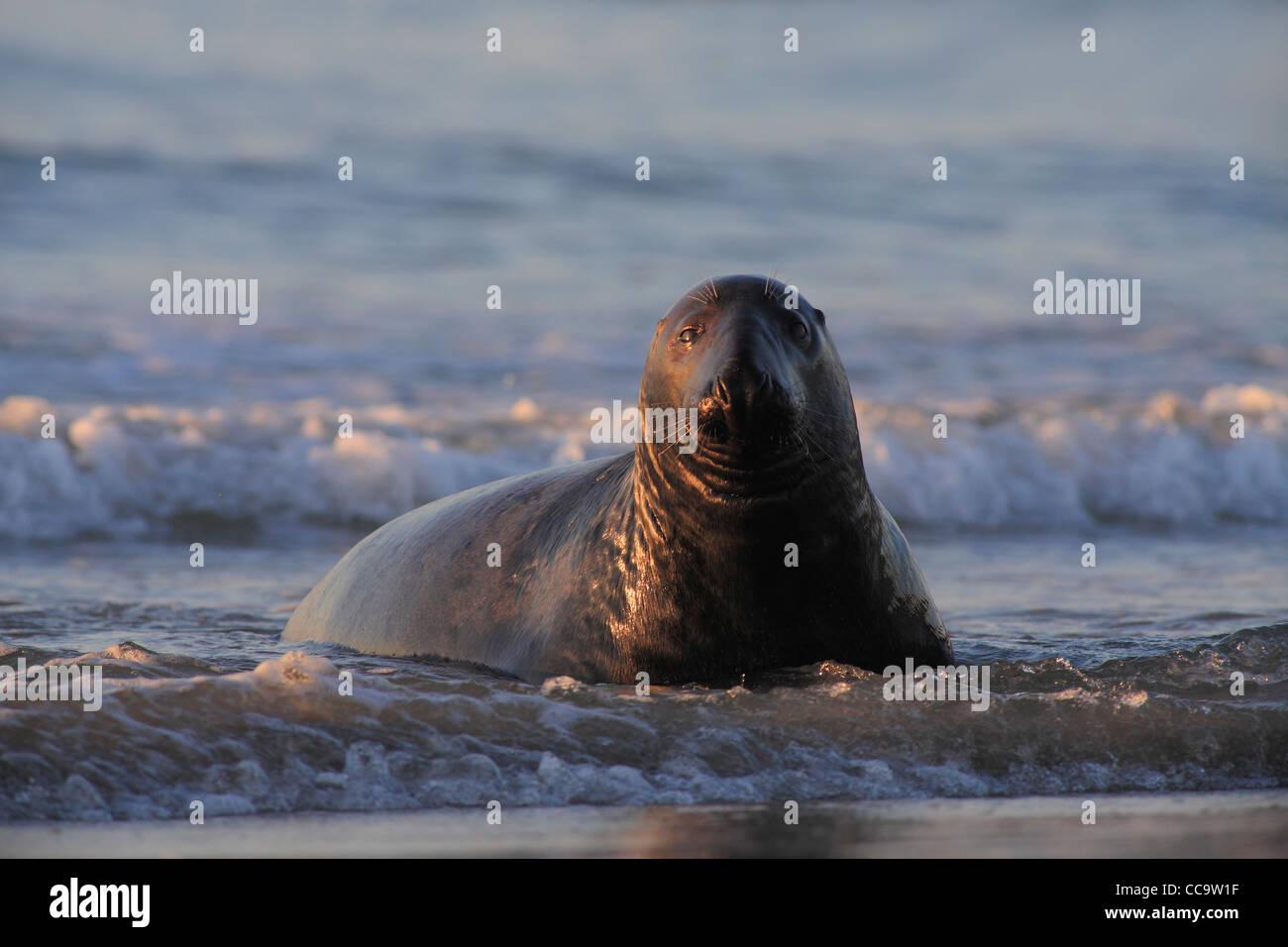 Kegelrobben Bull bei Sonnenuntergang; Latein: Halichoerus grypus Stockbild