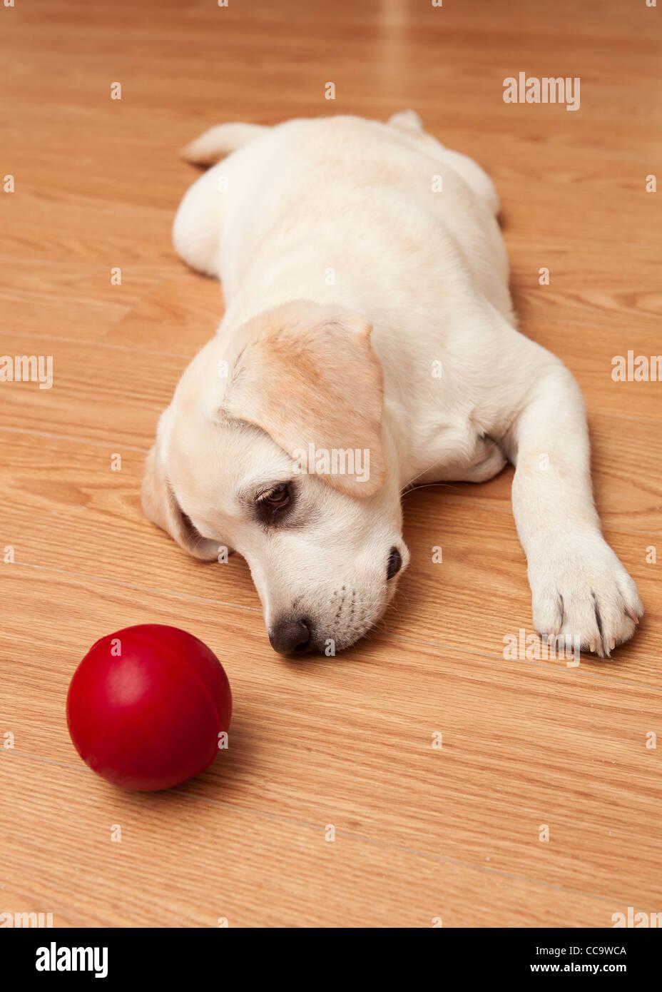 red labrador puppy stockfotos red labrador puppy bilder alamy. Black Bedroom Furniture Sets. Home Design Ideas