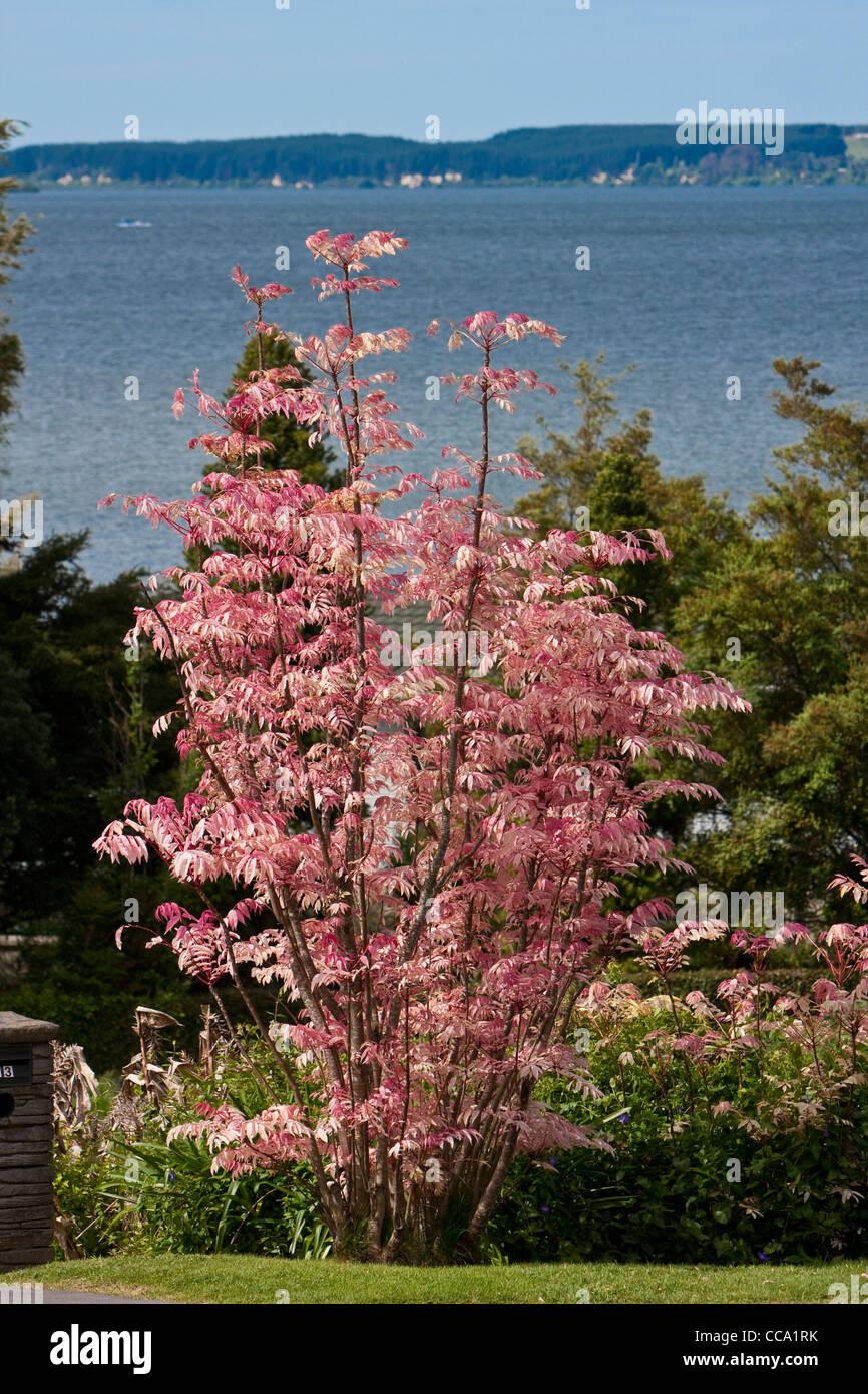Rosa Toon Baum, Cedrela Sinensis, Lake Rotorua. Neue Blätter sind rosa im Frühjahr, Creme, dann hellgrün Stockbild