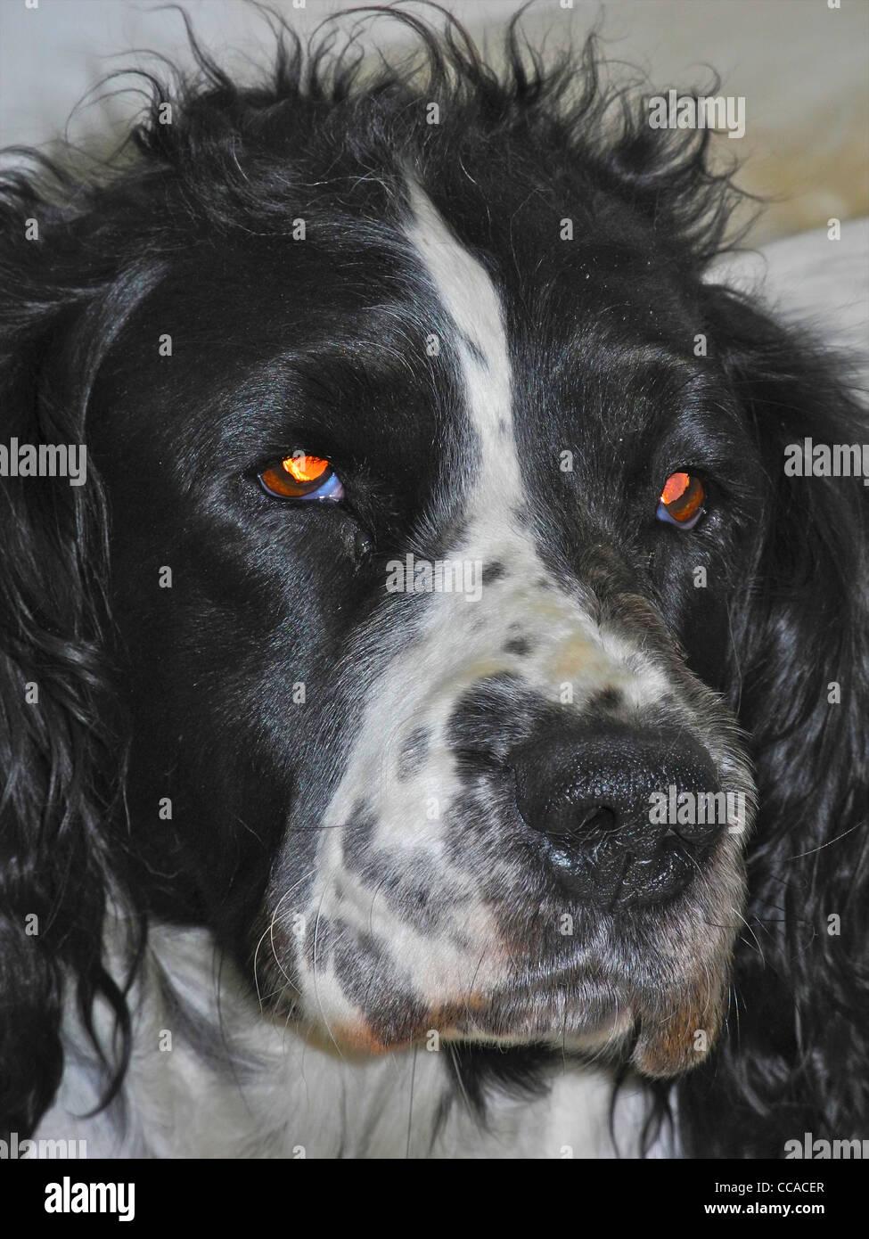 Teufel Hund böse Augen Auge Stockbild