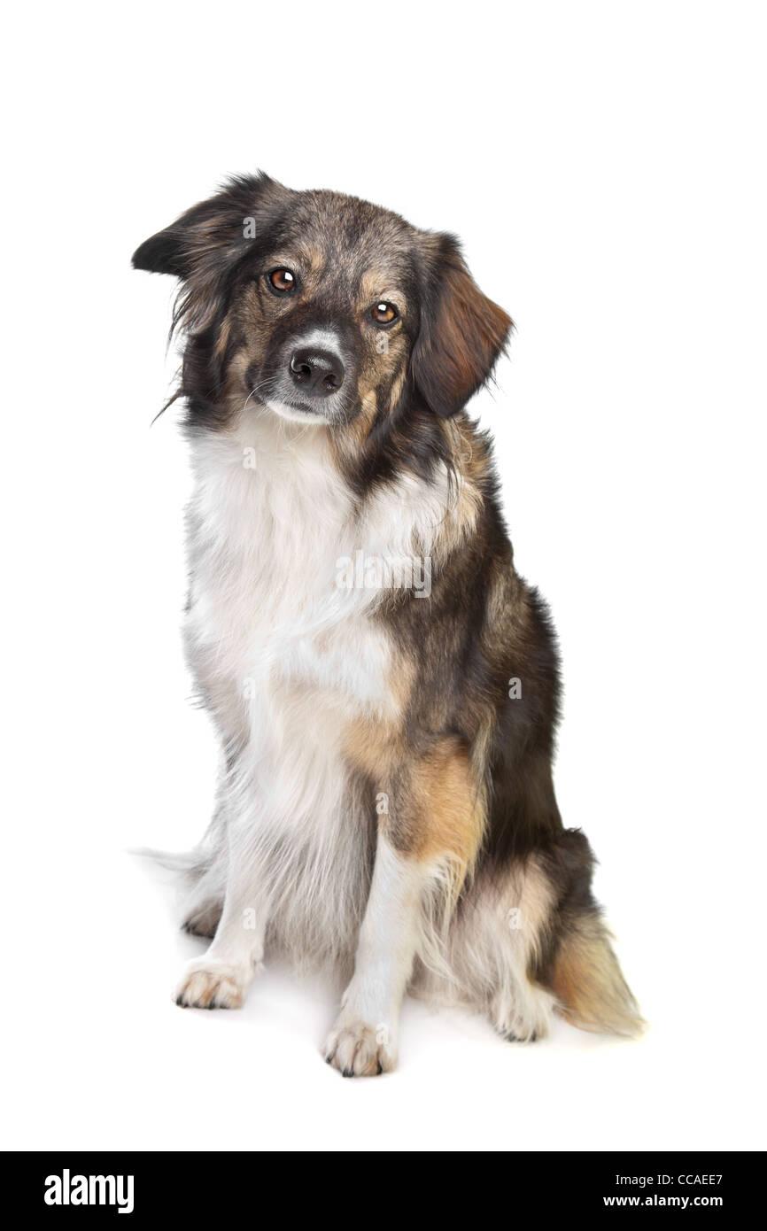 Mischling dreifarbige Hund vor einem weißen Hintergrund Stockbild