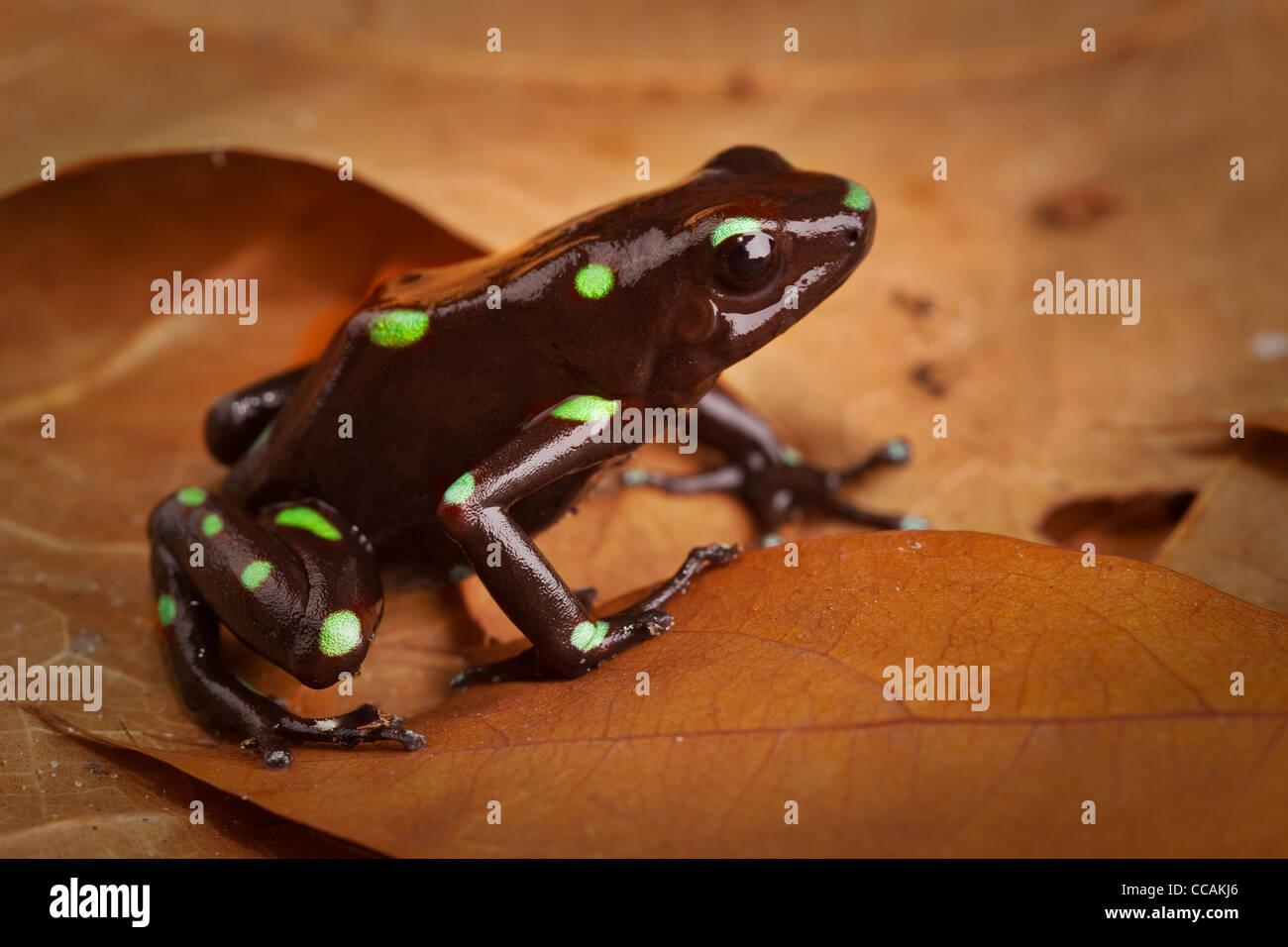 Goldene poison Dart Frosch Dendrobates Auratus giftige Tier mit ...