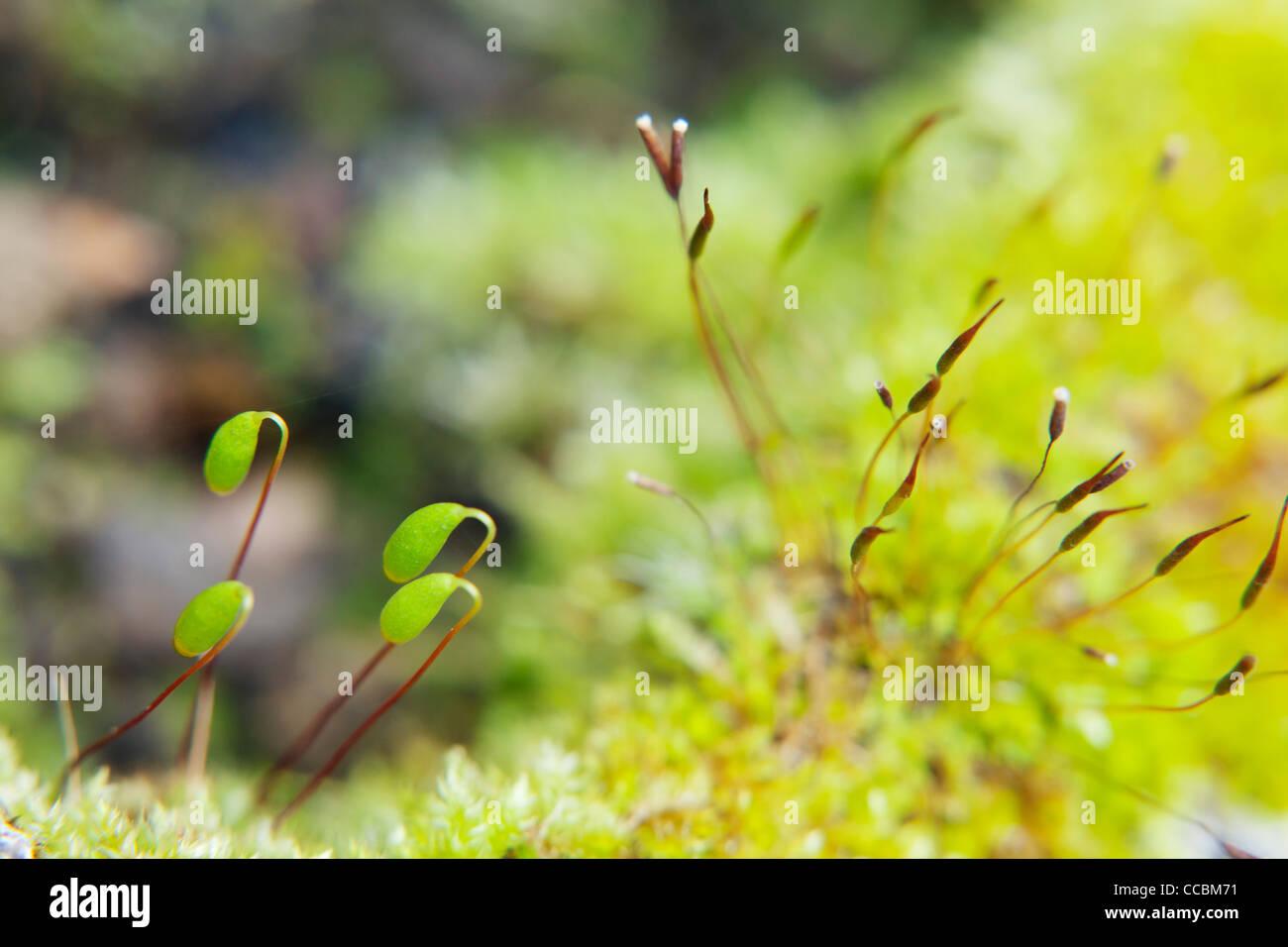 Fabelhaft Moossporen Stockfotos & Moossporen Bilder - Alamy #BC_47