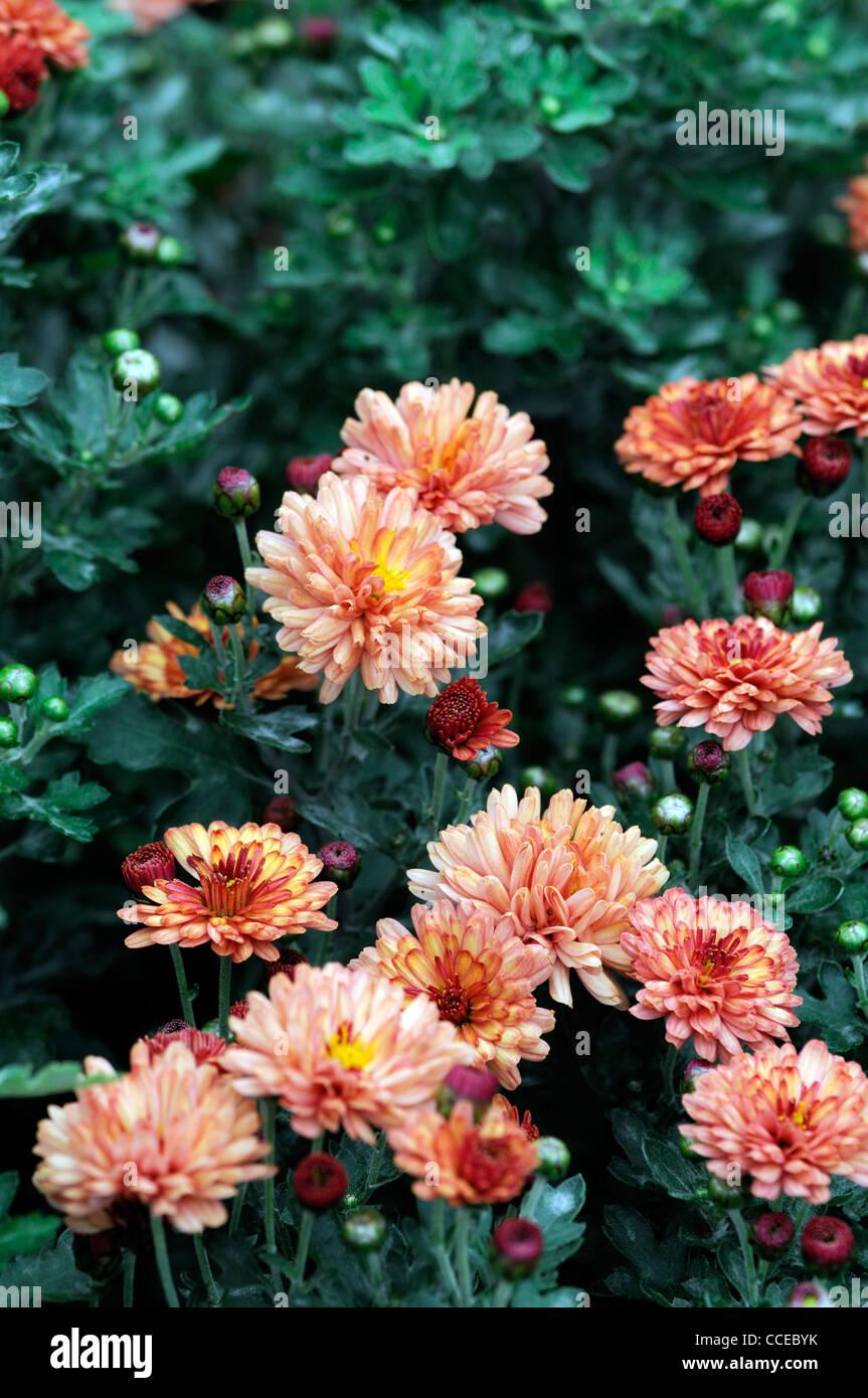 Chrysantheme Bronze Eleganz Amber Peach Blumen Blüte Blüten Halb