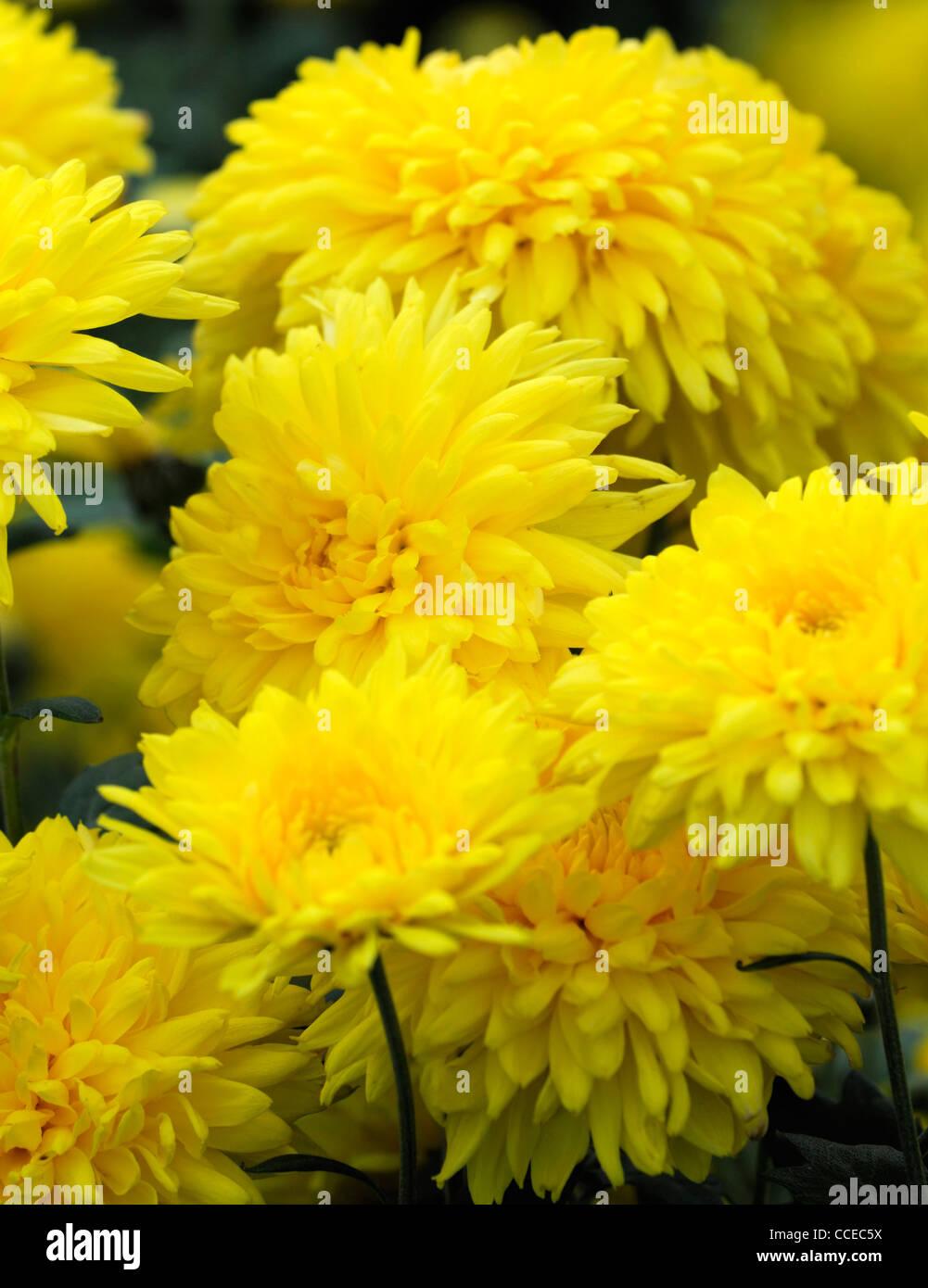 chrysantheme philipee gelb blumen bl te bl ten halbe. Black Bedroom Furniture Sets. Home Design Ideas
