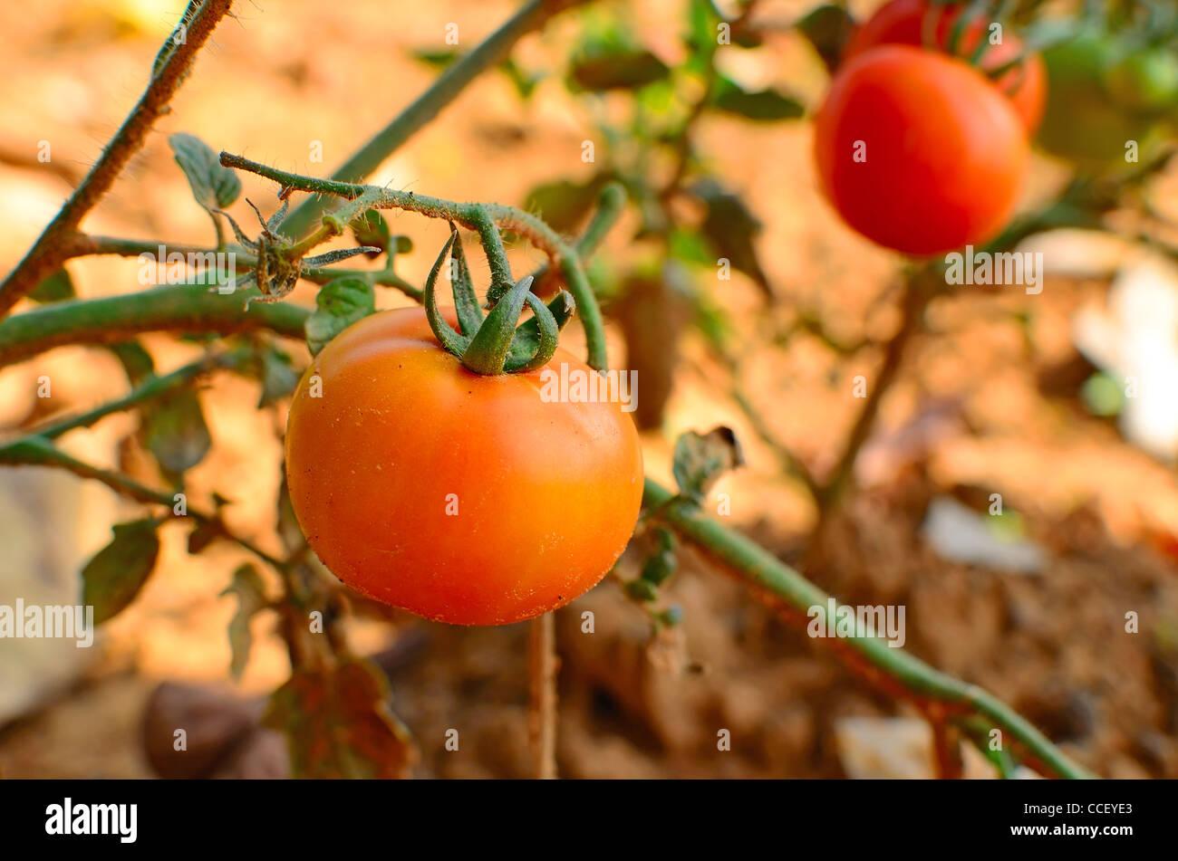 Frische Tomaten, die auf ihre Pflanzen wachsen Stockfoto