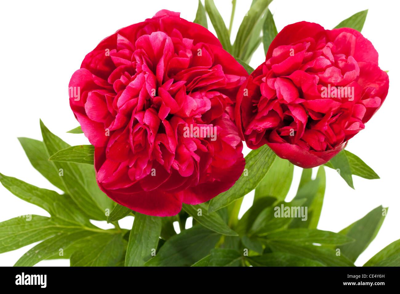 zwei rote Pfingstrose mit Blatt auf weißem Hintergrund Stockbild