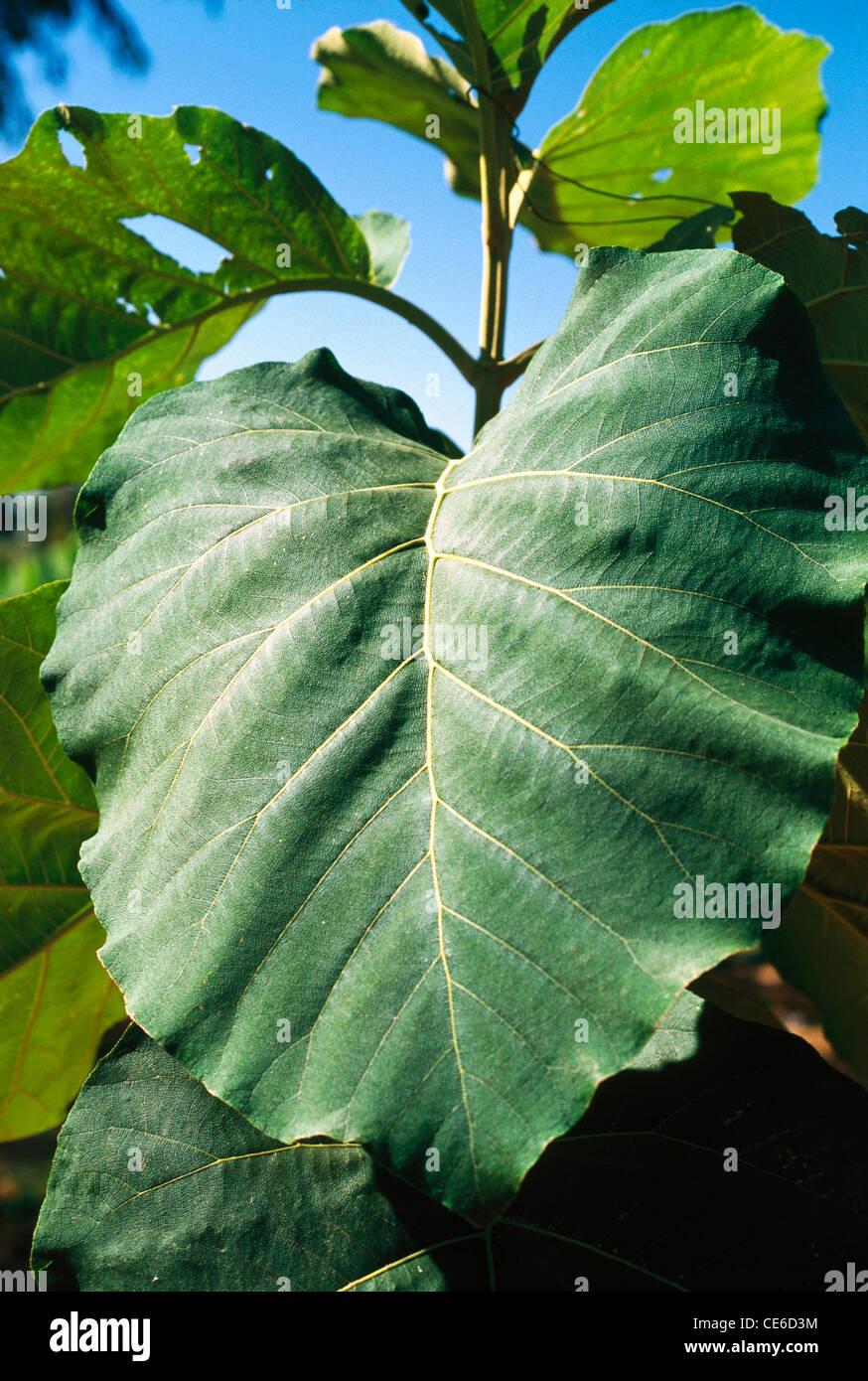 Teakbaum blatt  Teak-Baum Bäumchen Blatt; Gujarat; Indien Stockfoto, Bild: 43167928 ...