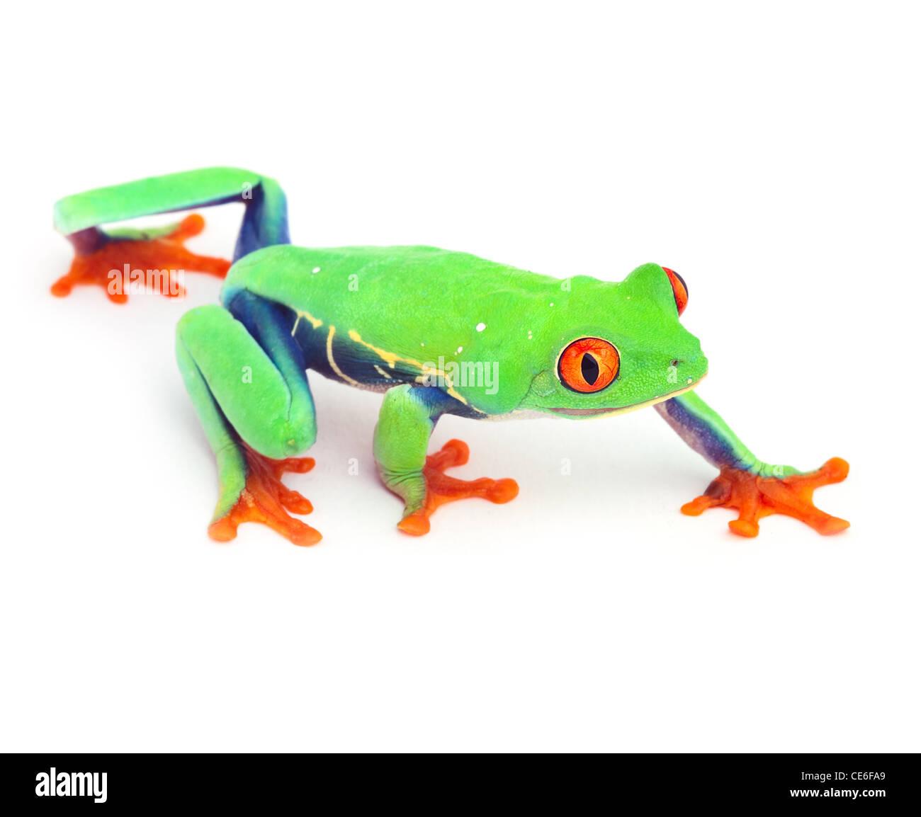 Rote Augen Treefrog Makro isoliert exotische Frosch neugierig Tier ...