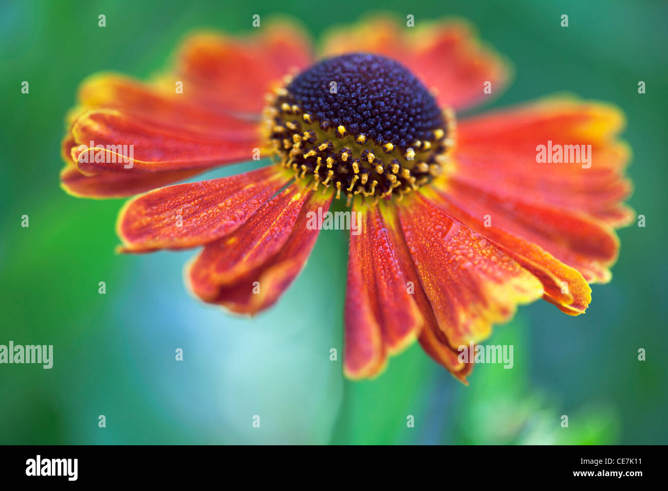 Helen Blume, Sneezeweed, Helenium 'Moerheim Beauty', Orange. Stockbild