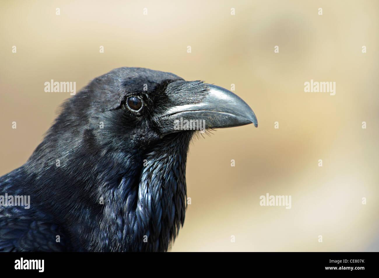 Nördlichen Raven (Corvus Corax Canariensis) Stockbild
