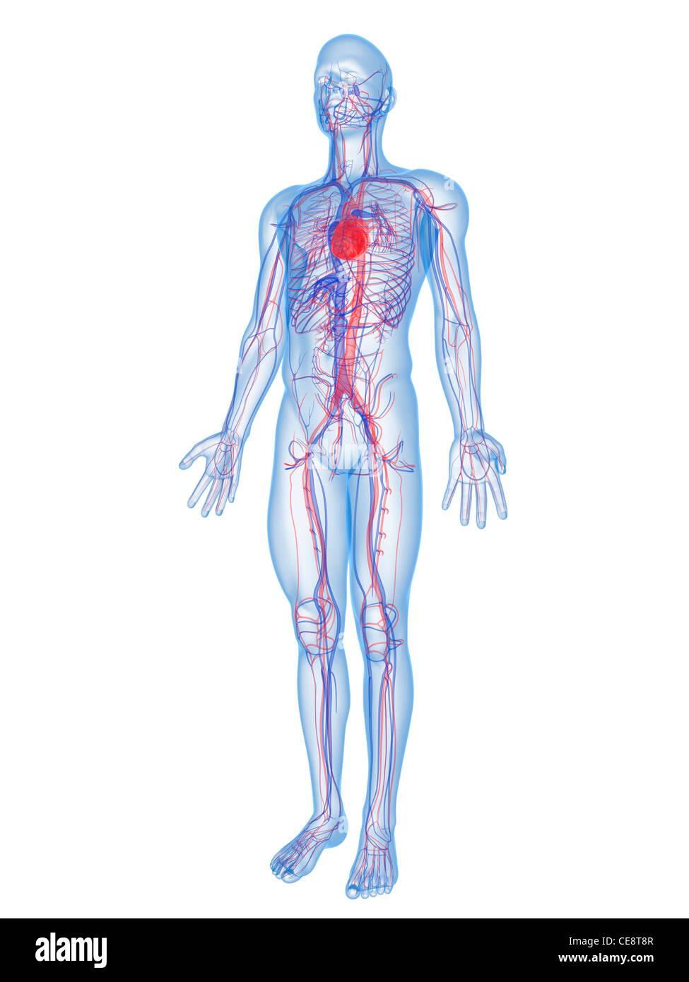 Gemütlich Herz Kreislauf System Organe Und Funktionen Fotos ...
