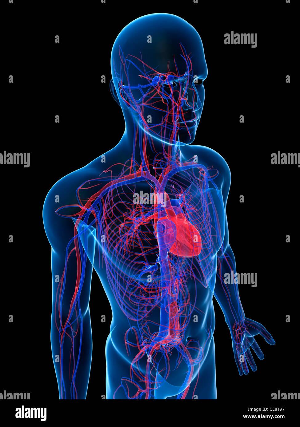 Wunderbar Herz Kreislauf Fotos - Anatomie Und Physiologie Knochen ...