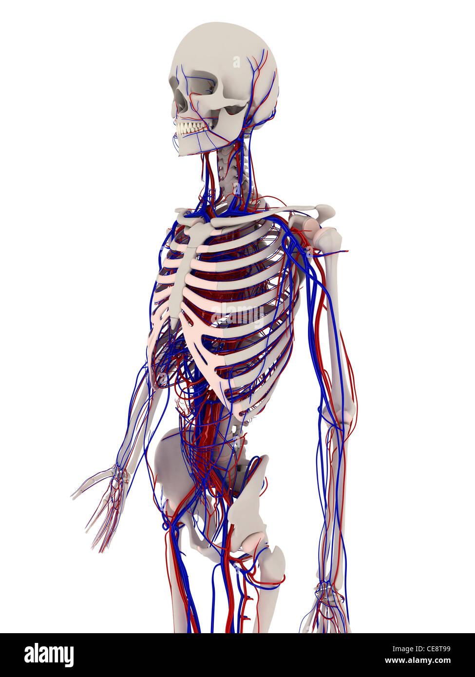 Anatomie des Menschen. Computer Grafik zeigt die Knochen und Herz ...
