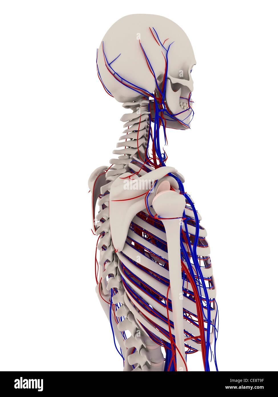 Großartig Knochenanatomie Spiel Zeitgenössisch - Menschliche ...