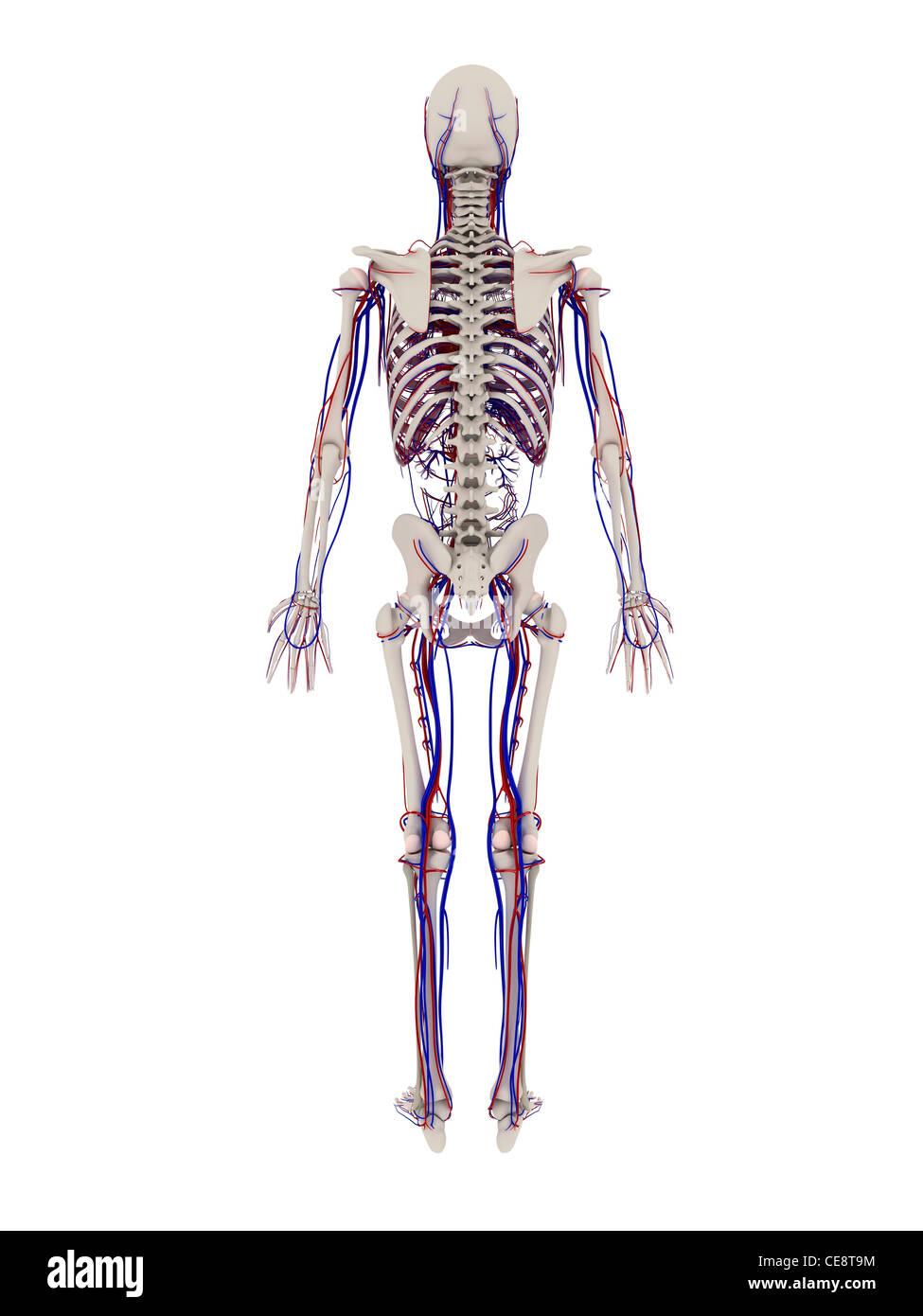 Berühmt Anatomie Des Halses Knochen Fotos - Physiologie Von ...