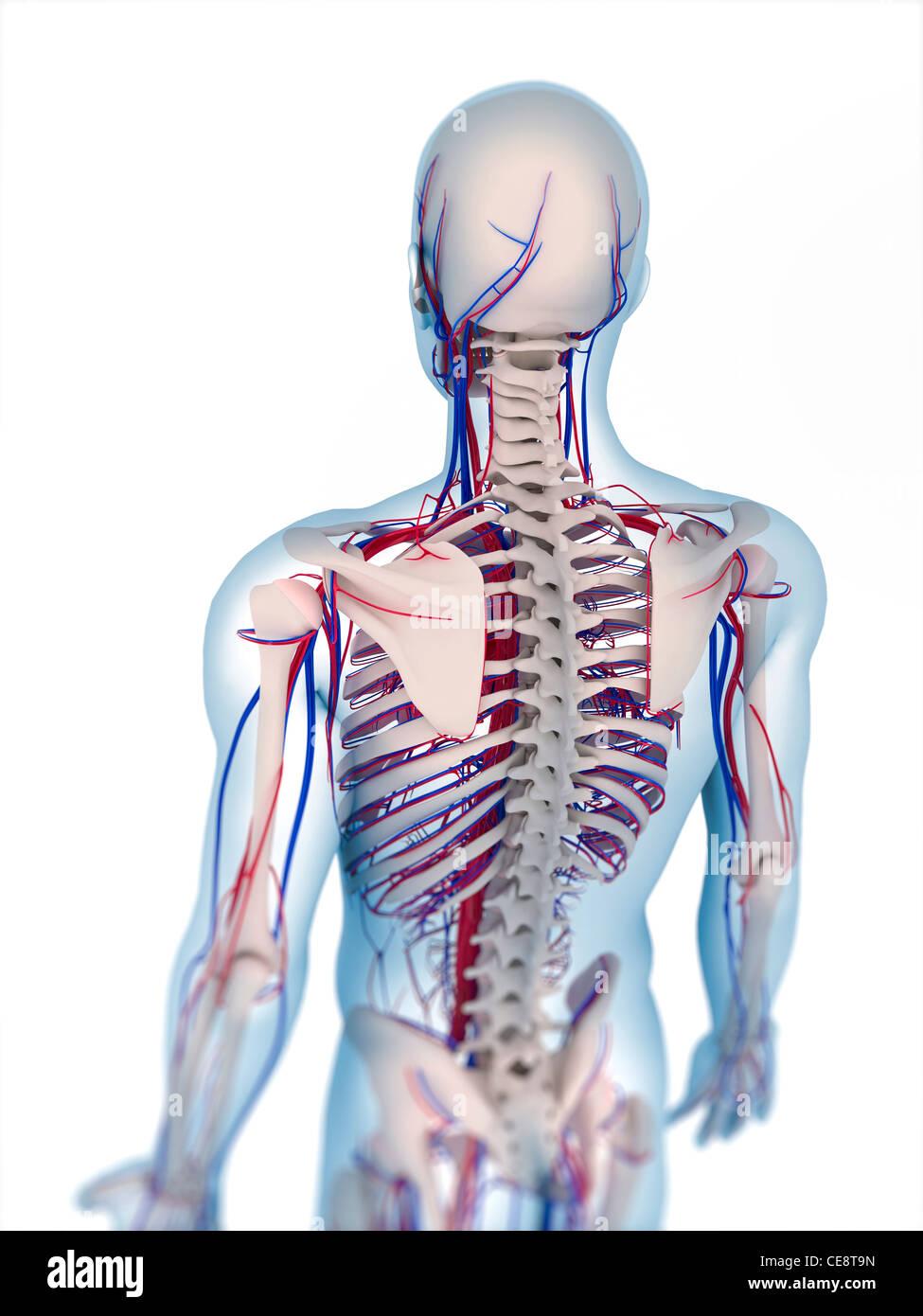 Ungewöhnlich Anatomie Knochen Test Zeitgenössisch - Menschliche ...